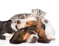 Gatinho do gato malhado que dorme no cão de basset dos cachorrinhos Isolado no branco Imagens de Stock