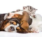 Gatinho do gato malhado que dorme no cão de basset dos cachorrinhos Isolado no branco Imagem de Stock Royalty Free