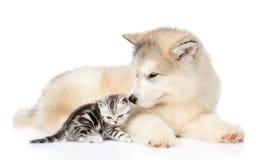 Gatinho do gato malhado que encontra-se com o cachorrinho do malamute do Alasca Isolado no branco imagens de stock royalty free