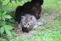 Gatinho do gato malhado que joga com cauda da mãe foto de stock royalty free