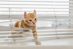 Gatinho do gengibre tangled em cortinas de janela Fotos de Stock Royalty Free