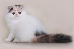 Gatinho do persa de Extrimal Imagens de Stock Royalty Free
