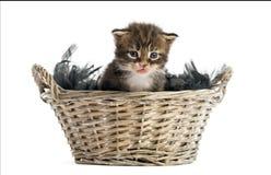 Gatinho do racum de Maine que sai de uma cesta do animal de estimação Imagem de Stock Royalty Free