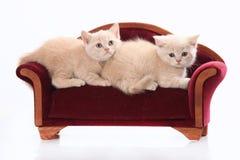 Gatinho do shorthair de dois ingleses Foto de Stock Royalty Free