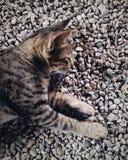 Gatinho do sono Imagens de Stock