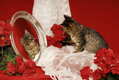 Gatinho do tigre com espelho e begónias Foto de Stock