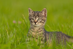 Gatinho do tigre que joga na grama Fotografia de Stock