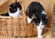 Gatinho dois preto e branco em uma cesta de vime Fotografia de Stock