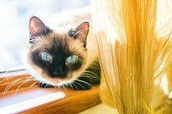 Gatinho dos olhos azuis Imagem de Stock Royalty Free