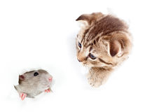 Gatinho e rato doméstico que olham para fora o furo imagem de stock