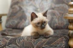 Gatinho em um sofá Foto de Stock