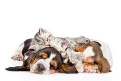 Gatinho engraçado que encontra-se no cão de basset dos cachorrinhos Isolado no branco Fotos de Stock Royalty Free