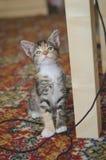 Gatinho engraçado salvado da chita que olha suspeito na câmera foto de stock