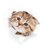 Gatinho engraçado que olha para fora o furo no papel rasgado Imagem de Stock