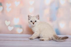 Gatinho escocês da cor clara Fotografia de Stock