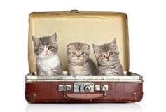 Gatinho escocês na mala de viagem velha Fotografia de Stock Royalty Free