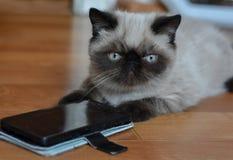 Gatinho exótico de Shorthair com preto do telefone celular no assoalho fotos de stock