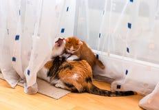 Gatinho gengibre-branco pequeno que joga com o gato tricolor adulto Cortinas do jogo e do risco dos gatos foto de stock royalty free