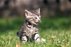 Gatinho listrado que senta-se na grama com boca aberta Expressa as emoções da raiva ou da frustração, miando Foto de Stock