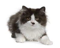 Gatinho Longhair britânico, 3 meses velho, encontrando-se Foto de Stock Royalty Free