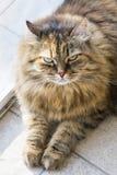 Gatinho macio que olha acima Animal de estimação macio do siberian fotos de stock
