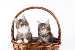 Gatinho - Maine Coon Cat Imagem de Stock Royalty Free