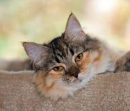 gatinho Meio-de cabelo de 7 meses de Torbie w/White Fotos de Stock Royalty Free