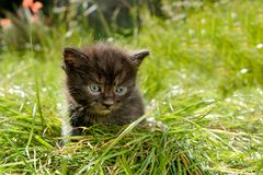 Gatinho miando adorável do gato malhado fora Imagens de Stock Royalty Free