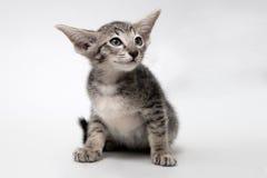 Gatinho oriental do gato malhado cinzento doce Fotografia de Stock