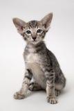 Gatinho oriental do gato malhado cinzento doce Fotos de Stock Royalty Free