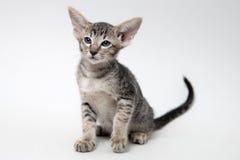 Gatinho oriental do gato malhado cinzento doce Fotos de Stock