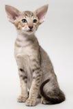 Gatinho oriental do gato malhado do chocolate doce Imagem de Stock