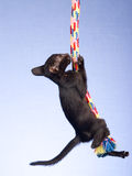 Gatinho oriental Siamese que pendura da corda Foto de Stock Royalty Free