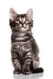 Gatinho peludo bonito Imagem de Stock Royalty Free