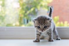 Gatinho pequeno bonito do gato malhado no peitoril da janela Raça da dobra do Scottish fotos de stock