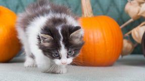 Gatinho pequeno com abóboras Fotografia de Stock