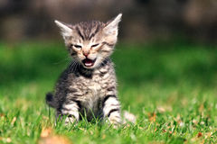 Gatinho pequeno do gato malhado que grita ao sentar-se na grama no quintal Imagens de Stock