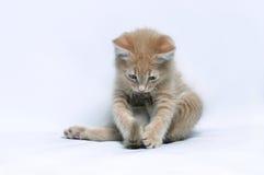Gatinho pequeno do gengibre vermelho que joga com sua cauda Fotos de Stock