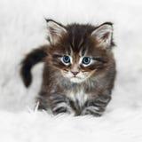 Gatinho pequeno do racum de maine com olhos azuis no fundo branco imagem de stock