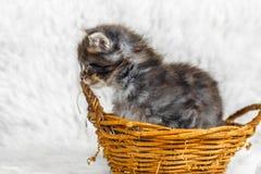 Gatinho pequeno do racum de maine na cesta amarela fotografia de stock