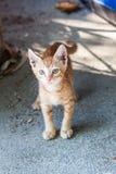 Gatinho pequeno engraçado do gengibre de Thassos Fotografia de Stock