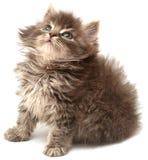 Gatinho pequeno persa bonito Imagem de Stock