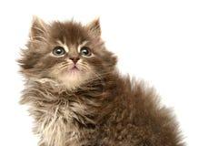 Gatinho pequeno persa bonito Foto de Stock