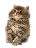 Gatinho pequeno persa bonito Fotos de Stock Royalty Free