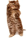 Gatinho pequeno persa bonito Fotos de Stock