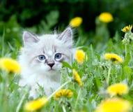 Gatinho pequeno que senta-se nos dentes-de-leão Foto de Stock Royalty Free