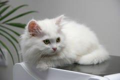 Gatinho persa branco bonito Imagem de Stock Royalty Free