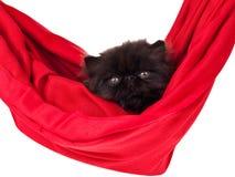Gatinho persa preto no hammock vermelho isolado Fotos de Stock