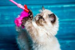 Gatinho persa que joga o fundo azul Fotografia de Stock