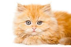 Gatinho persa vermelho pequeno Imagem de Stock